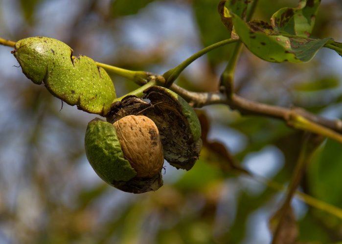 καλλιεργεια καρυδιάς, Σμαραγδή Πετροπούλου